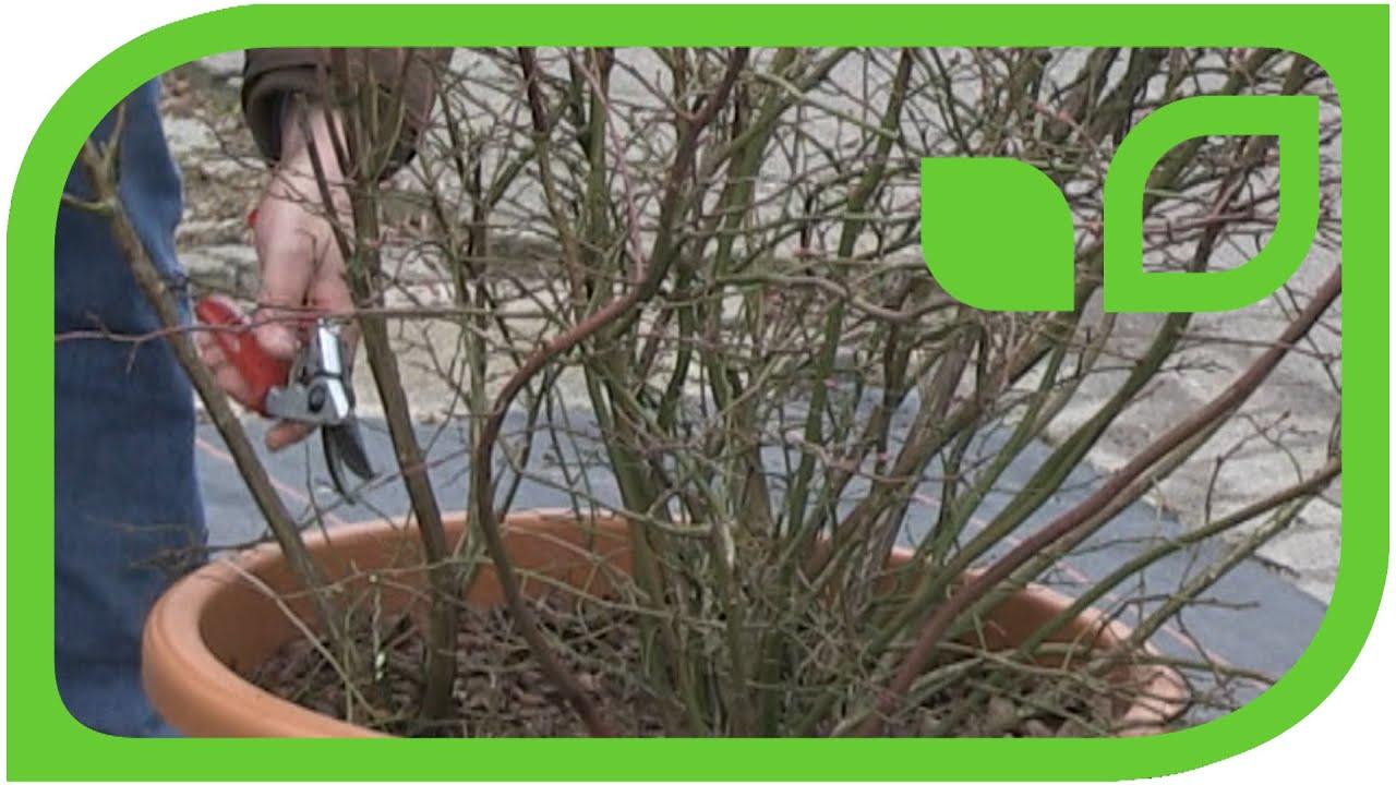 Beliebt Bevorzugt Wie schneide ich eine Heidelbeere im Topf? - YouTube #HJ_33
