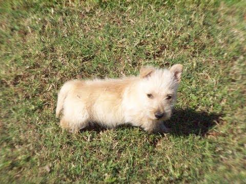 Scottish Terrier, Puppies, Dogs, For Sale, In Virginia Beach, Virginia, VA, 19Breeders, Chesapeake