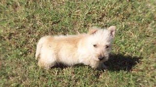Scottish Terrier, Puppies For Sale, In, Hampton, Virginia, West, Va, Norfolk, Chesapeake, 19breeders