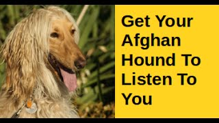 Get Your Afghan Hound To Listen To You - Super !!