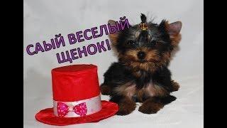 Купить щенка йорка. Самый веселый щенок! Сайт Гламурные собачки (Украина)