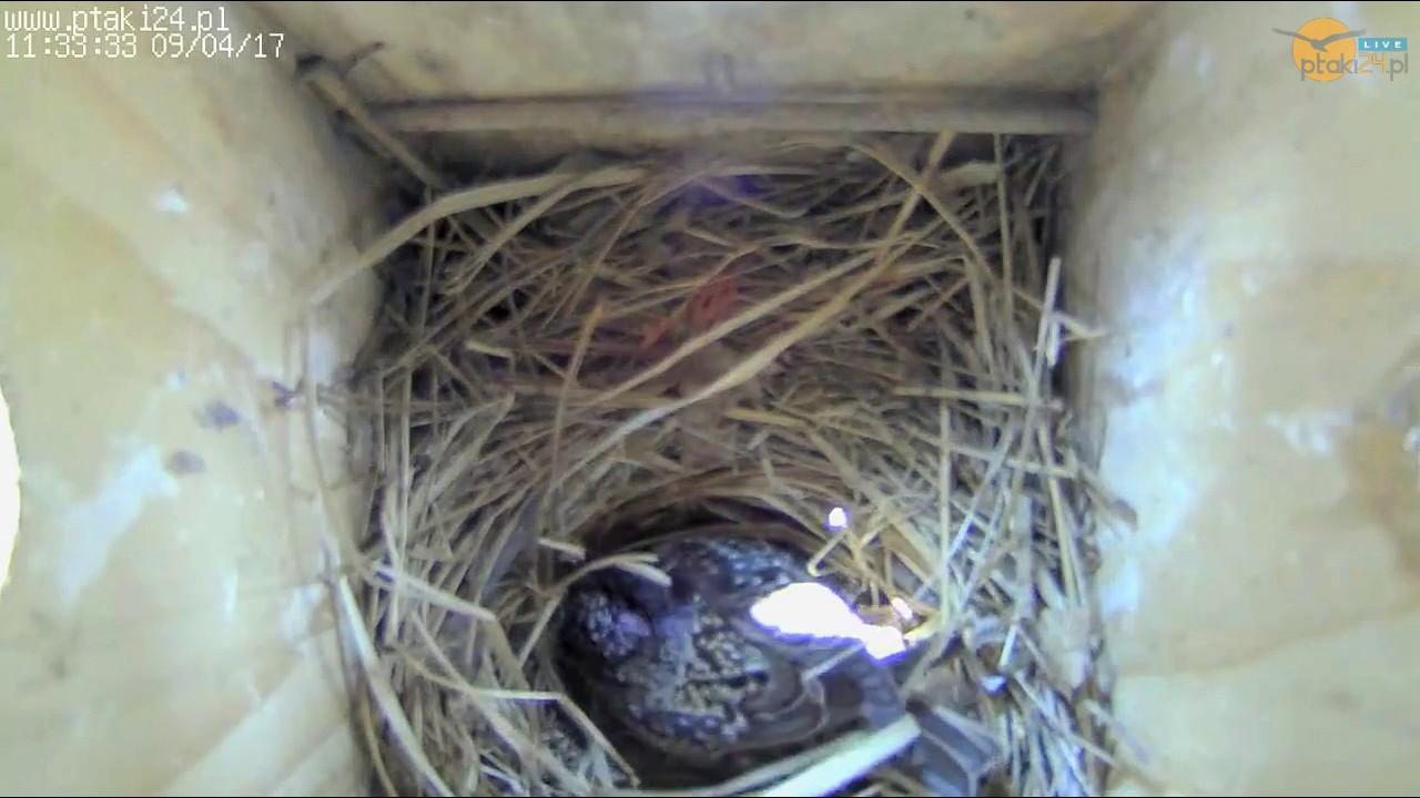 Szpaki mają już 1 jajeczko w skrzynce lęgowej #01 w ogrodzie
