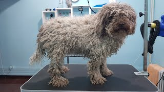 Matted Lagotto Romagnolo Grooming Transformation
