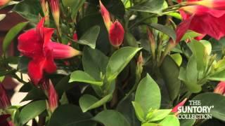 Monrovia Plant Expert Shares How to Garden With Sun Parasol thumbnail