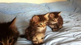 Котята Норвежской Лесной Кошки Фурри-Неко