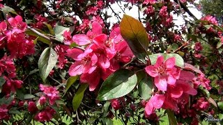 Яблоня красна цветами (2015)