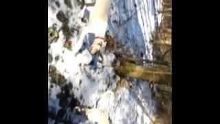 Охота с хортыми борзыми в лесу