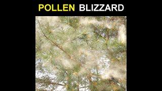 Pollen Blizzard