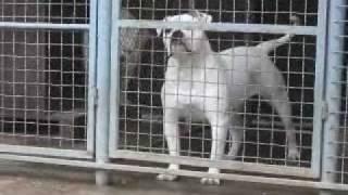 Mijatovic kennel Shikana-american bulldog