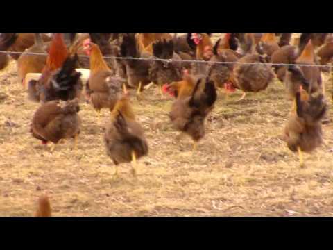 welsummer-parody-of-welsummer-chicken-breed-(breeder-flock)- -cackle-hatchery