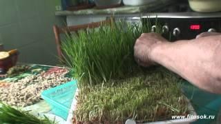 Получение сока из ростков пшеницы в домашних условиях.(Последние годы, кухонные бытовые приборы (шнековые соковыжималки, дегидраторы, блендеры, проращиватели..., 2014-10-17T20:46:02.000Z)