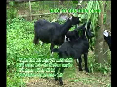Hỹ thuật chăn nuôi dê