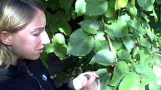 Edible wild plants: Mulberry Tree -Morus (Wilderness survival skills and courses)