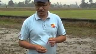 Racun Organik Siput Gondang Emas (tanjung emas)