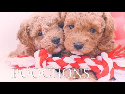 Poochon Puppies 6 weeks old