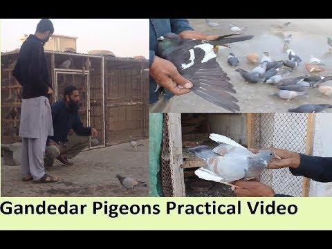 Ustad MUNAWAR BHAI and Unk Shagird Abdullah Bhai Ki Chaht - Pigeons LOFT VISIT