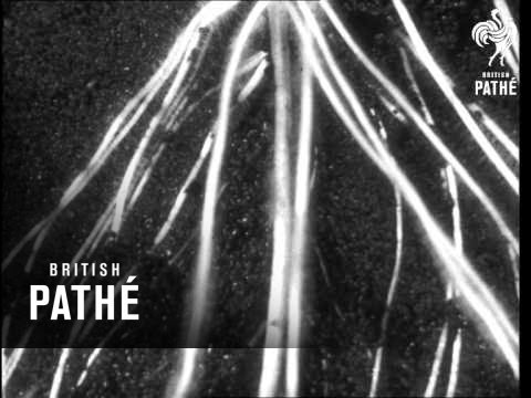 Secrets Of Nature - Amazing Maize (1933)