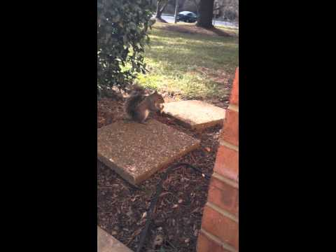 Squirrel eating crackers
