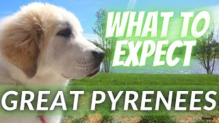 Living with a Great Pyrenees Puppy, What to Expect   Livestock Guardian Dog