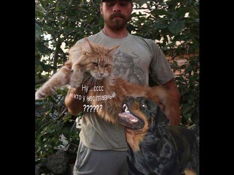 Как уживаются мейн куны с другими кошками