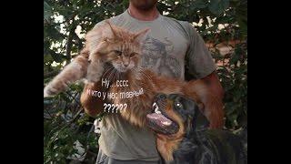 Уживаются ли кошки Мейн-куны с собаками? / Питомник ЛИРИКУМ