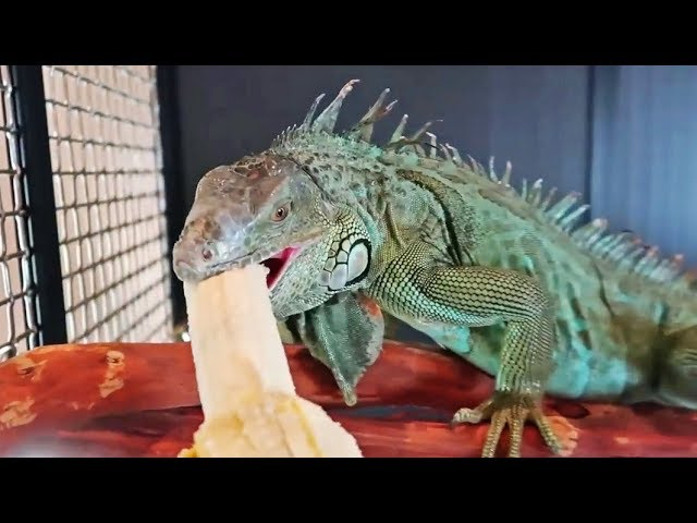 My Iguana Eating Banana