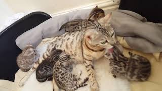3 week old Bengal kittens(3)