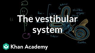 The vestibular system, balance, and dizziness | Processing the Environment | MCAT | Khan Academy