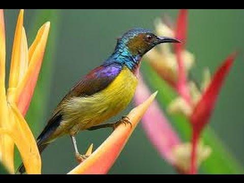 Burung Master : Kolibri Kelapa Mental Baja Anti Stres