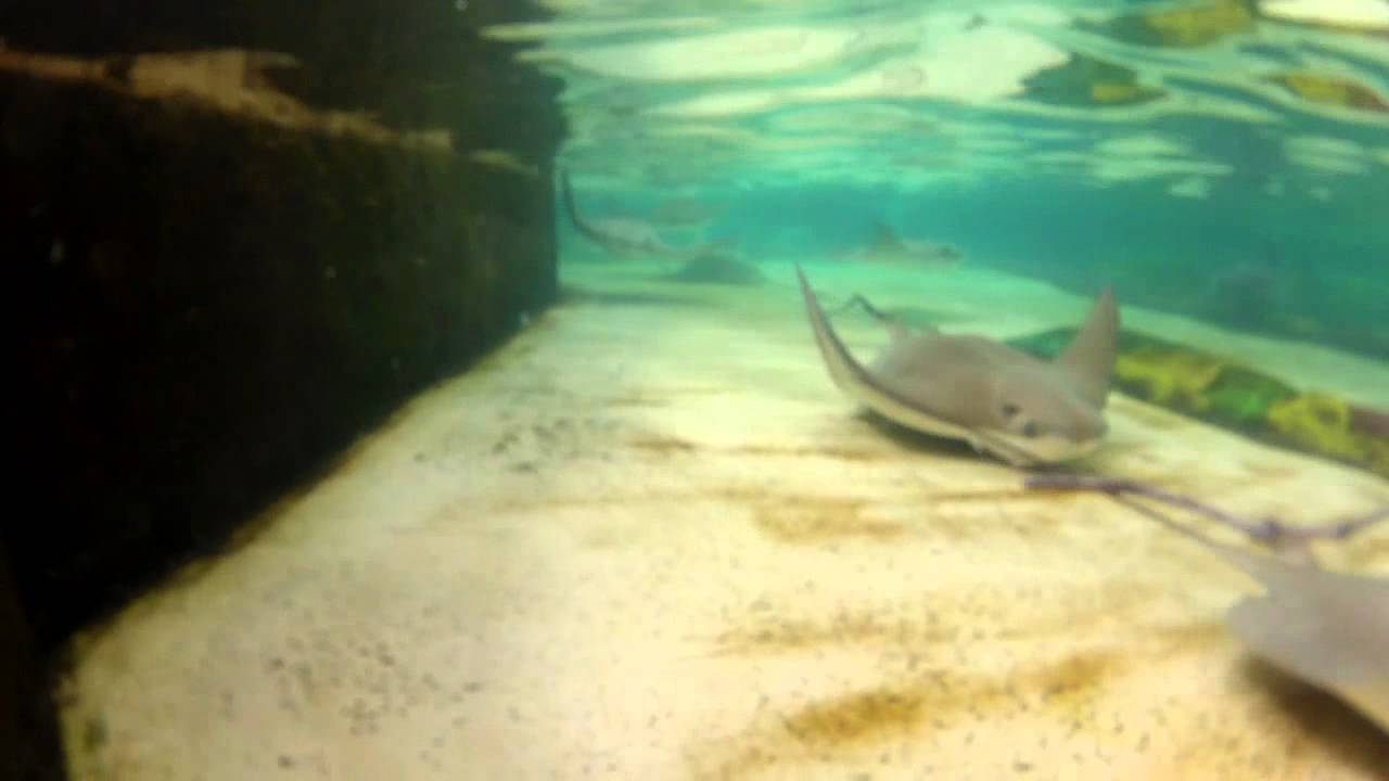 Download Salt Water Aquarium Stingrays 06032013-03-HD 720p