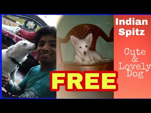 Picking dog free from a aunty.(Indian spitz)
