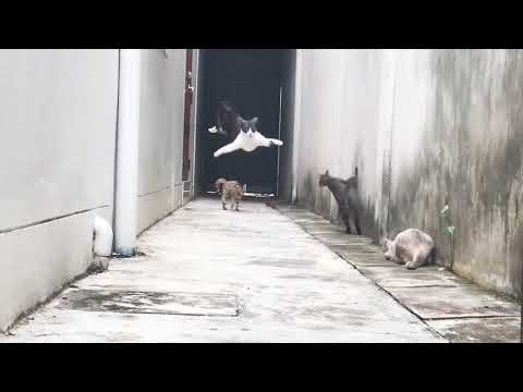 Agile Feline Runs and Jumps Over Group of Cats - 988915