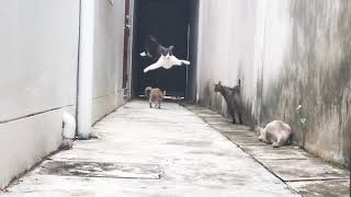 Agile Feline Runs and Jumps Over Group of Cats  988915