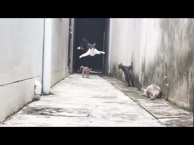 Agile Feline Runs and Jumps Over Group of Cats – 988915
