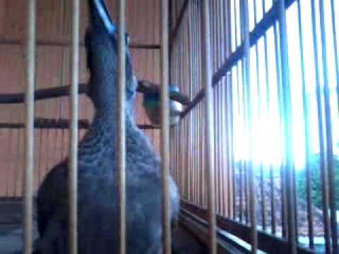 burung cucak rawa timor