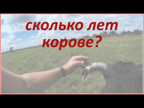 Как узнать возраст коровы?  Жизнь в деревне.