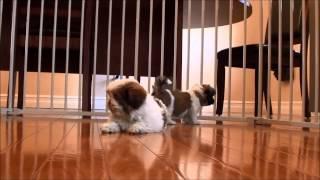 Video Shih Tzu puppies for sale July 21, 2014 download MP3, 3GP, MP4, WEBM, AVI, FLV September 2018