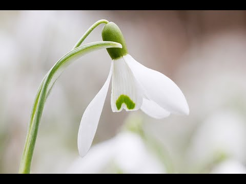 Snowdrops Poem With Dulcimer Music