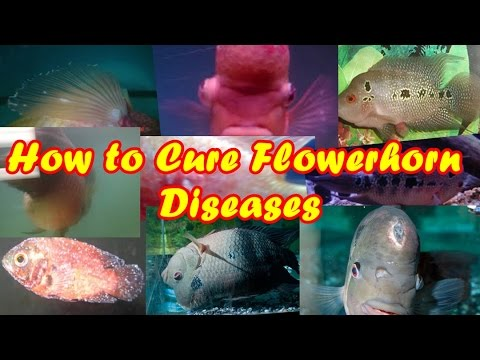 How to Cure Flowerhorn Diseases