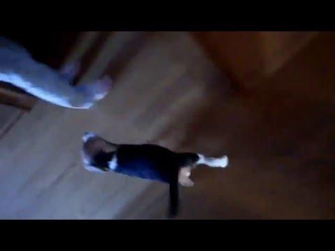 階段を上がるしぐさがカワイイ。ビーグル犬ロン。Beagle Ron who goes up stairs finally.
