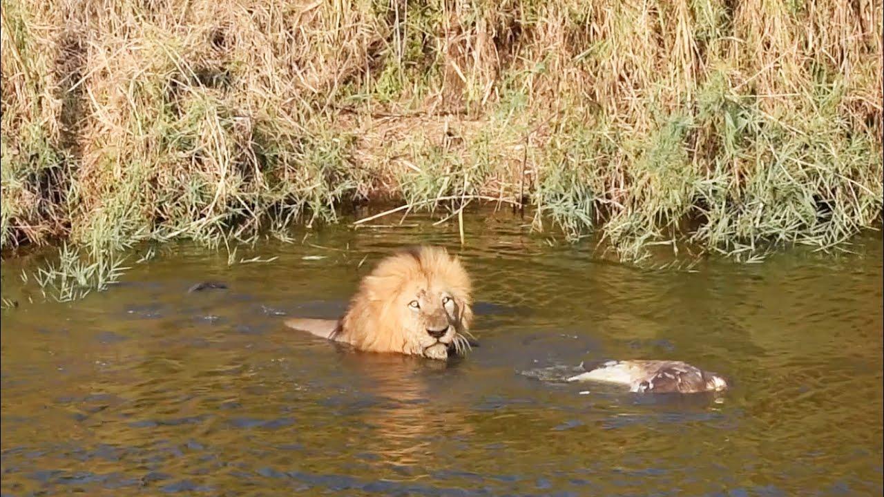 LION gets wet to get food!