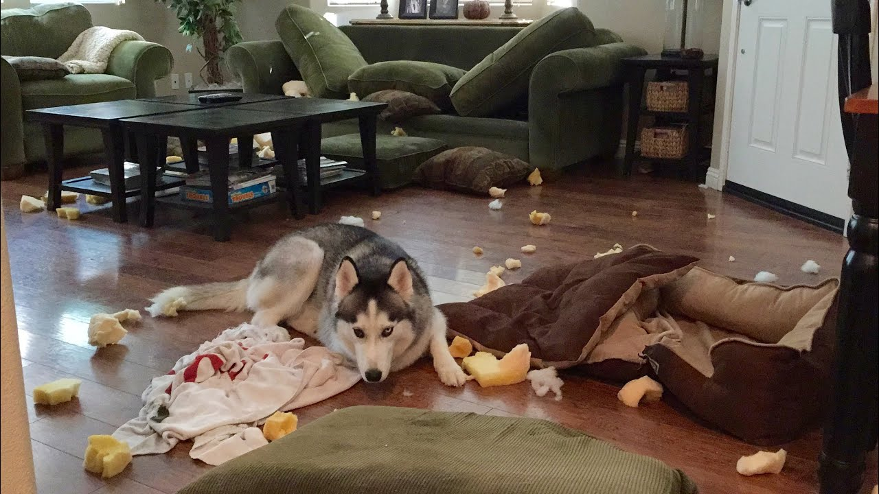Image result for husky  destroy