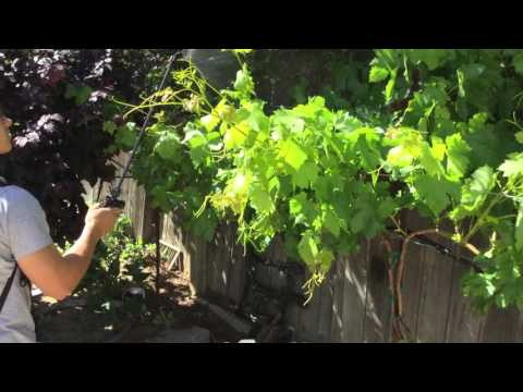 V4U- Stylet Oil- Mildew Prevention Spray for Grapes