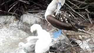 エスパニョーラ島 アオアシカツオドリ 子供の成長