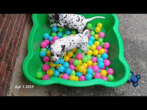 Dalmatian puppies ~ Birth to 8 weeks