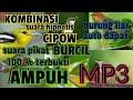 Suara Pikat Burcil Ampuh Kombinasi Suara Cipow Setres  Mp3 - Mp4 Download
