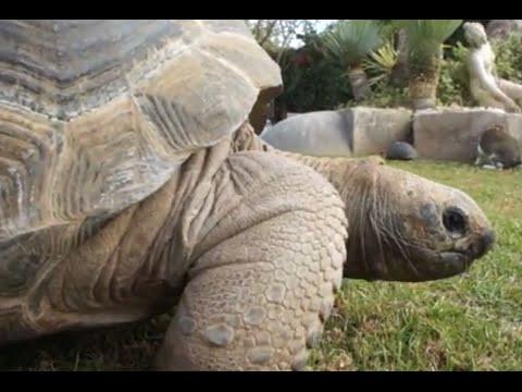 TORTOISES - The giant Aldabra tortoise, the most intellingent tortoise.