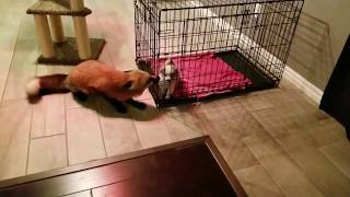 Fox making screaming noises!!!!(watch until the end)