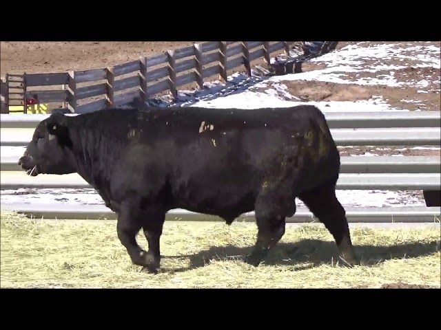 Connealy Angus Lot 504