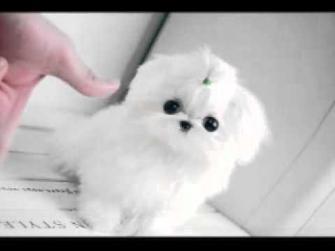 Small Dog Maltese Cupdog Youtube